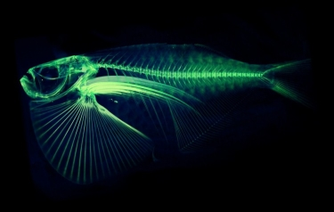 A scan of the spotfin hatchetfish (Thoracocorax stellatus). (Credit: University of Washington)