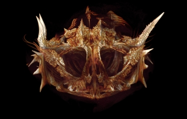 Enophrys taurina (Bull sculpin) (Credit: University of Washington)