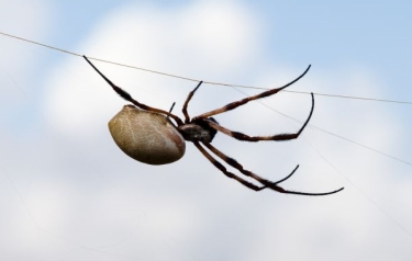 Researchers used the dragline silk of the golden web spider, Nephila edulis, in their study. (Shutterstock image)