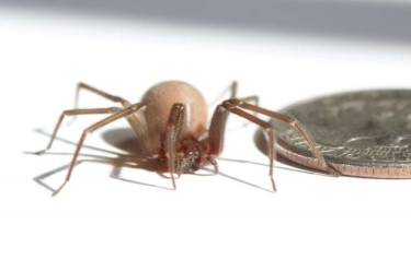 American Brown Recluse Spider is pictured. (Credit: Oxford University)