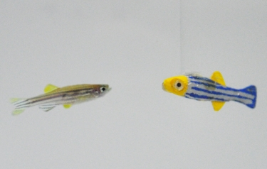 A First: Robotic Fish React (Credit: NYU Tandon)