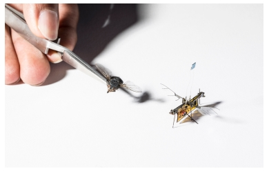 RoboFly is slightly larger than a real fly. (Credit: Mark Stone/University of Washington)