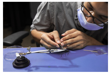 Iyer attaches the camera system to a Pinacate beetle. (Credit: Mark Stone/University of Washington)