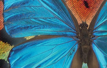 Scientists at GE Global Research have been studying the iridescence of Morpho butterfly wings, hoping to find 21st century applications inspired by this age-old natural technology