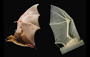 A robotic bat wing lets researchers measure forces, joint movements, and flight parameters — and learn more about how the real thing operates in nature (photo: Breuer and Swartz labs/Brown University)
