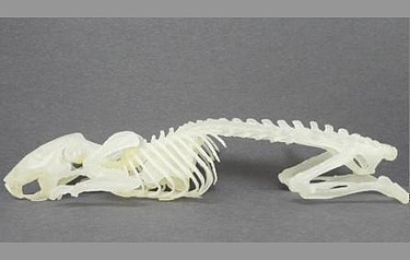 X-ray CT data sets from a living, anaesthetised Lobund-Wistar rat were used to create this 3D printed model of its skeleton