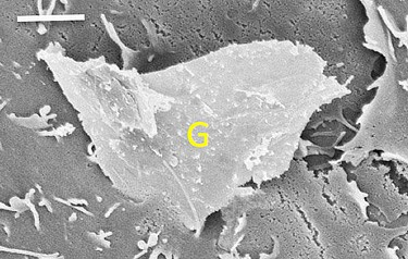 Rough edges at the nanoscale: The bottom corner of a piece of graphene (marked 'G') penetrates a cell membrane