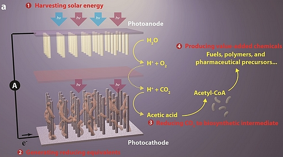 The artificial photosynthesis system has four general components: (1) harvesting solar energy, (2) generating reducing equivalents, (3) reducing CO2 to biosynthetic intermediates, and (4) producing value-added chemicals (graphic: Berkeley Lab)