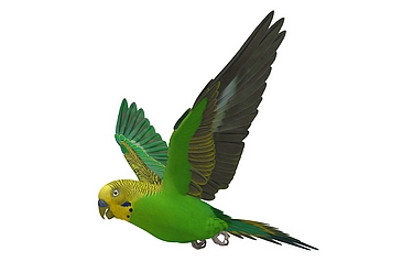 Budgies use visual cues to judge and adjust their airspeed (image: Shutterstock)