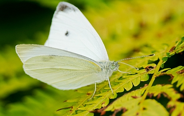 The Cabbage White with wings in 'V'-shaped posture (image: Shutterstock)